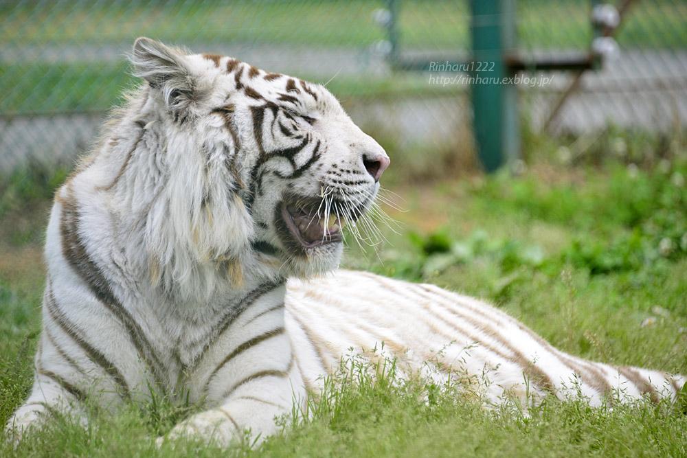 2017.6.11 岩手サファリパーク☆ホワイトタイガーのマハロ【White tiger】_f0250322_20494350.jpg
