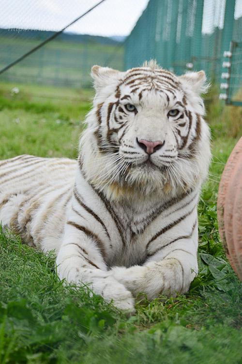 2017.6.11 岩手サファリパーク☆ホワイトタイガーのマハロ【White tiger】_f0250322_20501121.jpg
