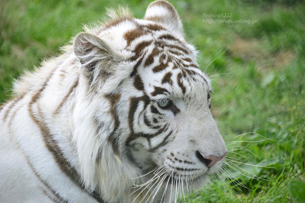 2017.6.11 岩手サファリパーク☆ホワイトタイガーのマハロ【White tiger】_f0250322_20502621.jpg