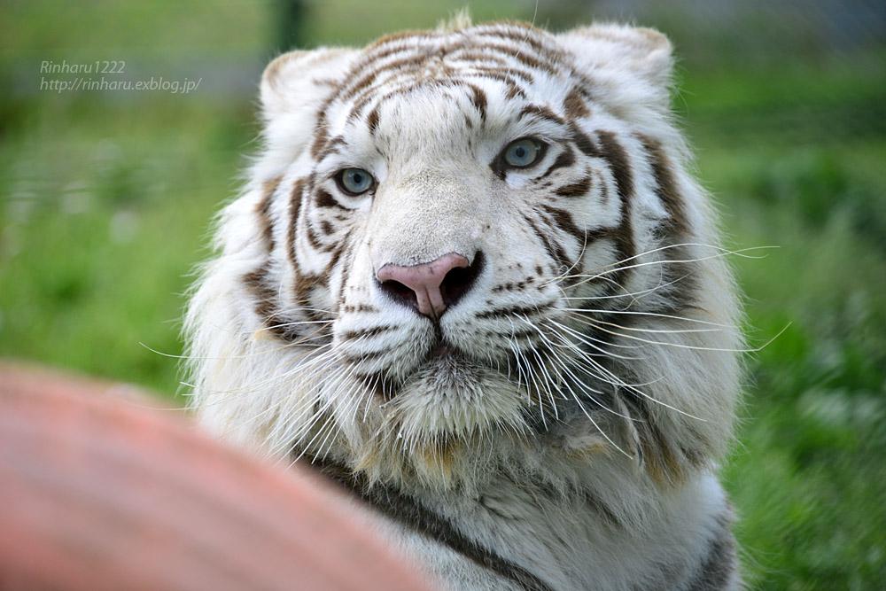 2017.6.11 岩手サファリパーク☆ホワイトタイガーのマハロ【White tiger】_f0250322_20503818.jpg