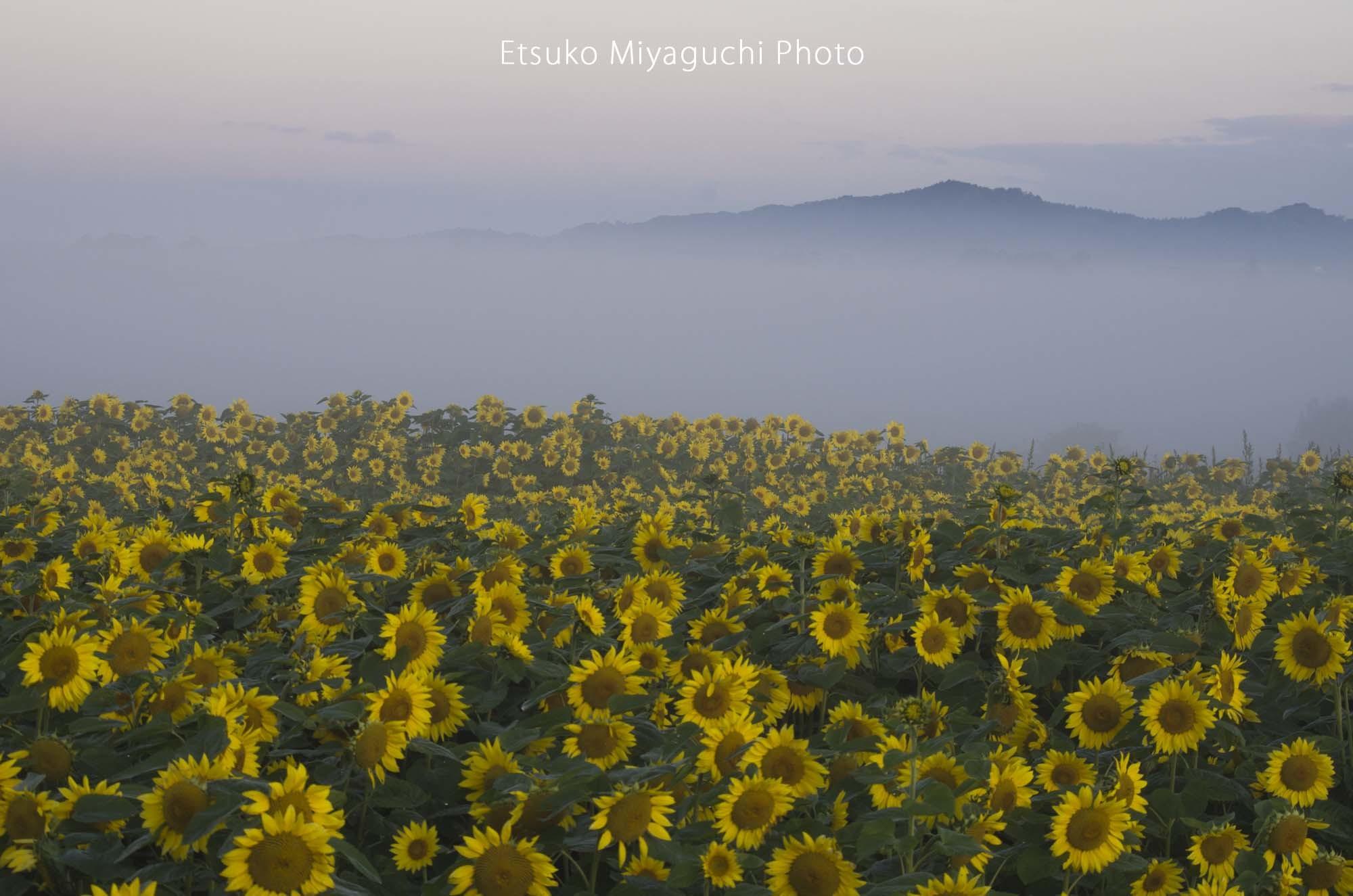 霧朝のひまわり畑_f0152939_17113667.jpg