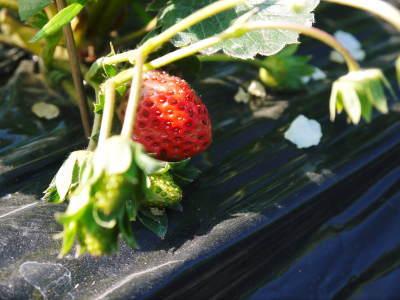完熟紅ほっぺ 順調に育つ栽培ハウスの様子(2019)と減農薬栽培のこだわり 12月上旬からの出荷です!_a0254656_16400943.jpg