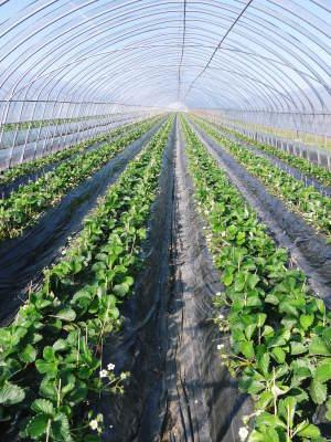 完熟紅ほっぺ 順調に育つ栽培ハウスの様子(2019)と減農薬栽培のこだわり 12月上旬からの出荷です!_a0254656_16461587.jpg