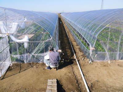 完熟紅ほっぺ 順調に育つ栽培ハウスの様子(2019)と減農薬栽培のこだわり 12月上旬からの出荷です!_a0254656_16475733.jpg