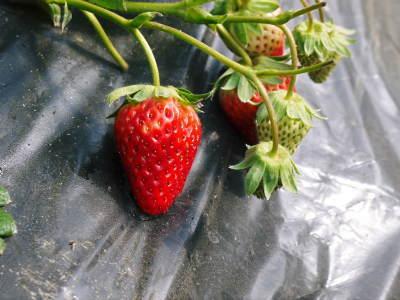完熟紅ほっぺ 順調に育つ栽培ハウスの様子(2019)と減農薬栽培のこだわり 12月上旬からの出荷です!_a0254656_17092145.jpg