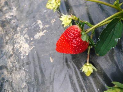 完熟紅ほっぺ 順調に育つ栽培ハウスの様子(2019)と減農薬栽培のこだわり 12月上旬からの出荷です!_a0254656_17103461.jpg