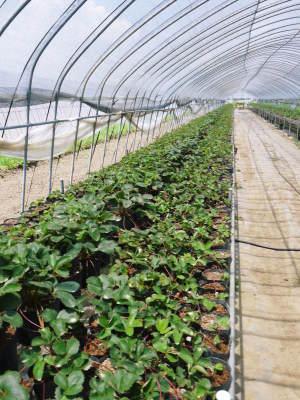 完熟紅ほっぺ 順調に育つ栽培ハウスの様子(2019)と減農薬栽培のこだわり 12月上旬からの出荷です!_a0254656_17115311.jpg