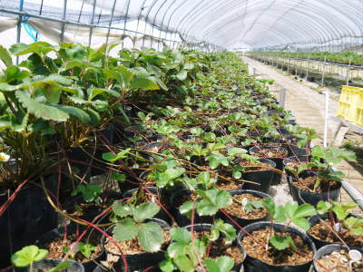 完熟紅ほっぺ 順調に育つ栽培ハウスの様子(2019)と減農薬栽培のこだわり 12月上旬からの出荷です!_a0254656_17123310.jpg