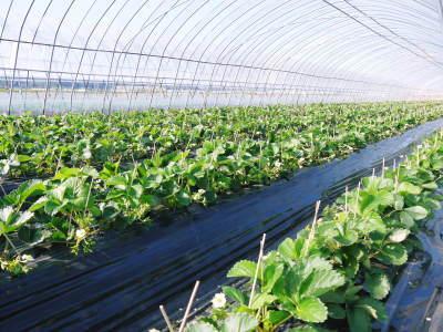 完熟紅ほっぺ 順調に育つ栽培ハウスの様子(2019)と減農薬栽培のこだわり 12月上旬からの出荷です!_a0254656_17131019.jpg