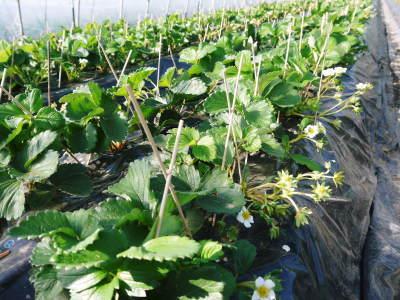 完熟紅ほっぺ 順調に育つ栽培ハウスの様子(2019)と減農薬栽培のこだわり 12月上旬からの出荷です!_a0254656_17171497.jpg