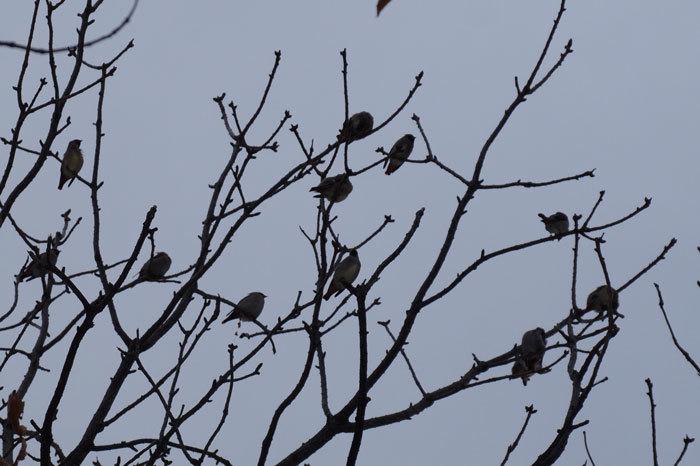 野鳥・キレンジャク_d0162994_13022135.jpg