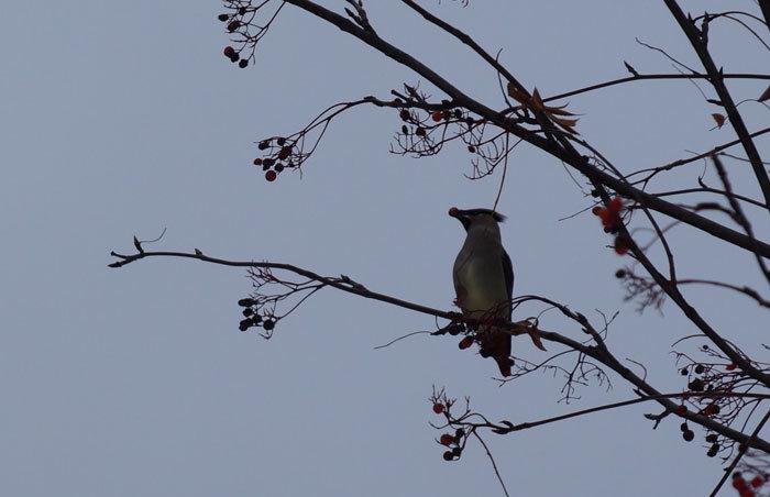 野鳥・キレンジャク_d0162994_13040201.jpg