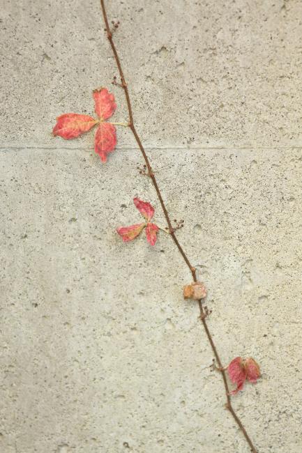 秋の贈り物② 蔦 _a0357206_23184612.jpg