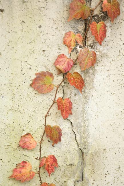 秋の贈り物② 蔦 _a0357206_23185156.jpg