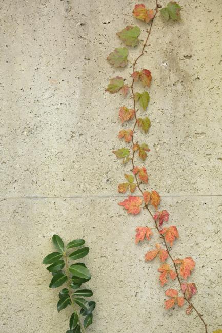 秋の贈り物② 蔦 _a0357206_23185208.jpg