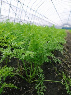 長尾ブランドの新鮮野菜!大人気の朝採りダイコンに続き、朝採りニンジン、朝採りほうれん草販売スタート!_a0254656_17390709.jpg