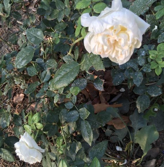 怠けたツケがまわってきた11月の庭_e0350971_11211422.jpeg