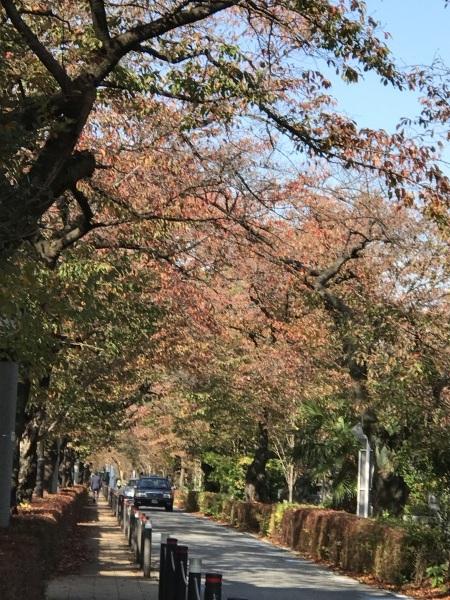 色付き始めた青山墓地と外苑の銀杏並木_e0397389_15081531.jpeg