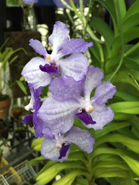 Vanda.coerulea 'Himalayan Blue'_d0007501_09293634.jpg
