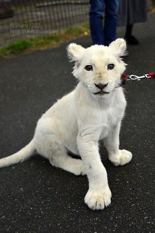 2018.11.10 東北サファリパーク☆ホワイトライオンのリズムちゃま【White lion baby】_f0250322_20175834.jpg