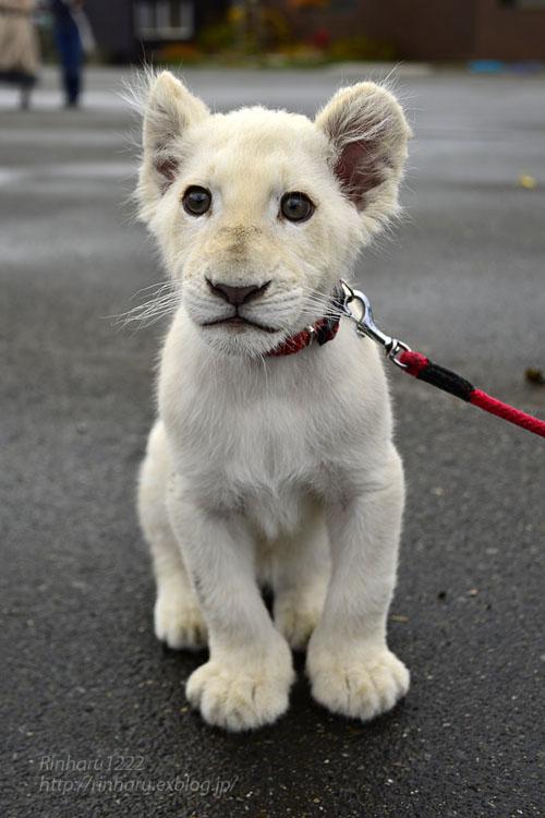 2018.11.10 東北サファリパーク☆ホワイトライオンのリズムちゃま【White lion baby】_f0250322_20182735.jpg