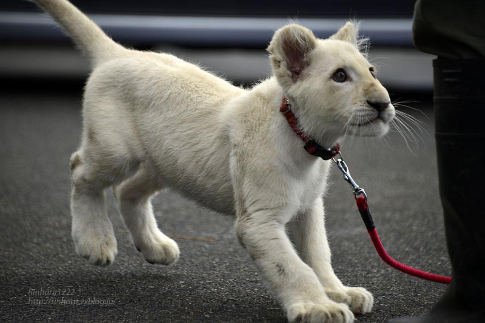2018.11.10 東北サファリパーク☆ホワイトライオンのリズムちゃま【White lion baby】_f0250322_2018384.jpg