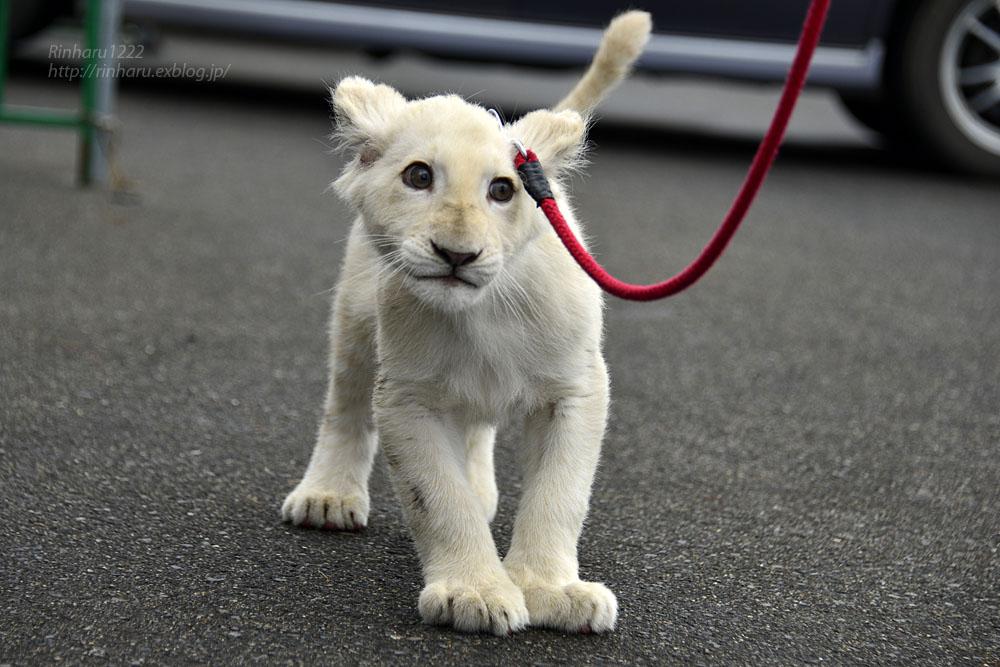 2018.11.10 東北サファリパーク☆ホワイトライオンのリズムちゃま【White lion baby】_f0250322_20184562.jpg