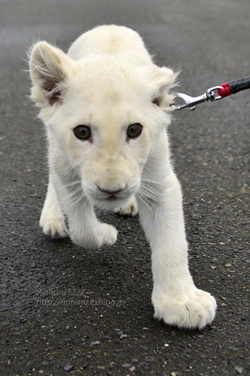 2018.11.10 東北サファリパーク☆ホワイトライオンのリズムちゃま【White lion baby】_f0250322_20185174.jpg