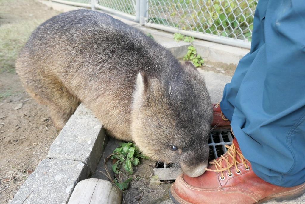 池田市五月山動物園 ウォンバットのワイン君_f0050534_08143251.jpg