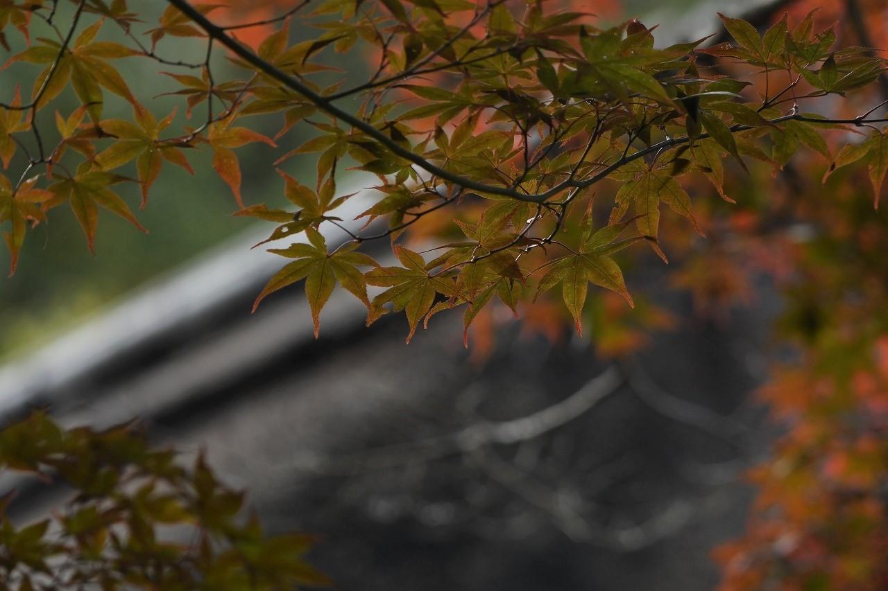 ジョウビタキ♀、今年も長くよろしく!/庭の花_c0233349_22541487.jpg