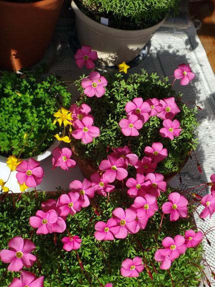 二階の猫部屋で冬越しに入った多肉植物とオキザリスなど♪_a0136293_16373947.jpg