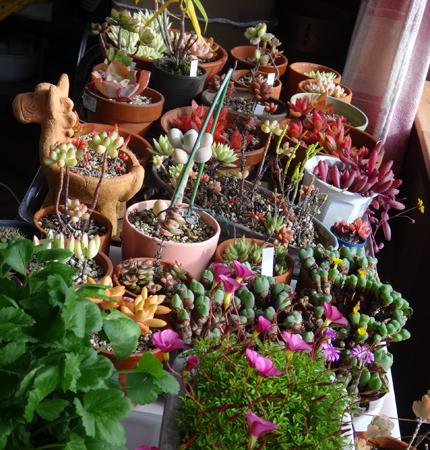 二階の猫部屋で冬越しに入った多肉植物とオキザリスなど♪_a0136293_16484875.jpg