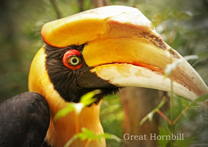オオサイチョウ:Great Hornbill_b0249597_06242088.jpg