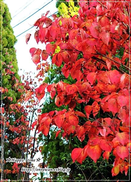 つくね玉子丼弁当と我が家の庭から紅葉とバラ♪_f0348032_16194812.jpg
