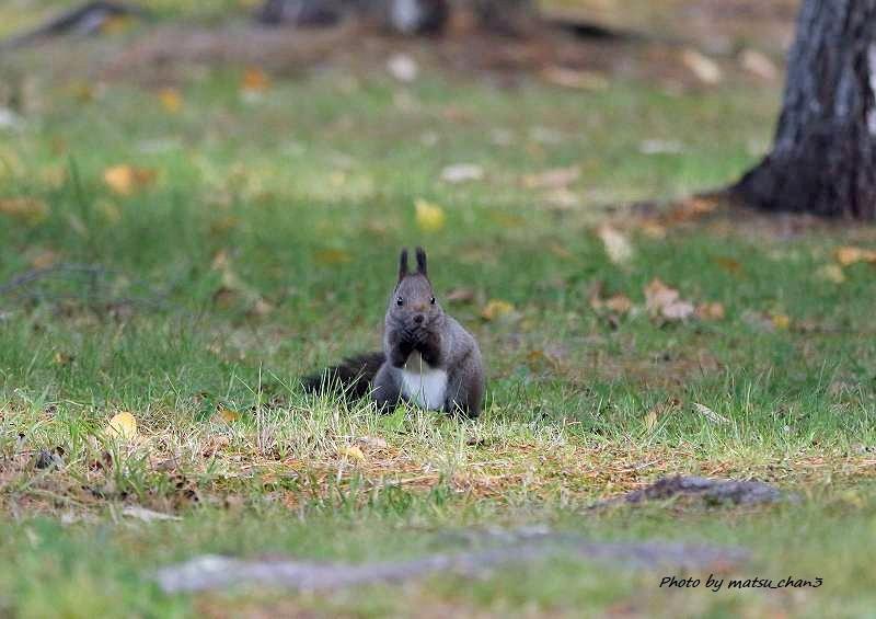 エゾリス  Hokkaido Squirrel_c0070654_08531442.jpg