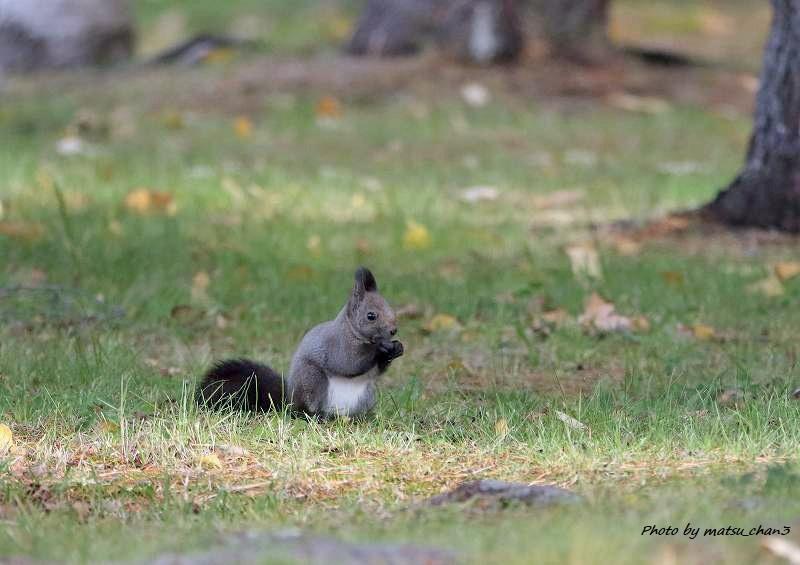 エゾリス  Hokkaido Squirrel_c0070654_08533031.jpg