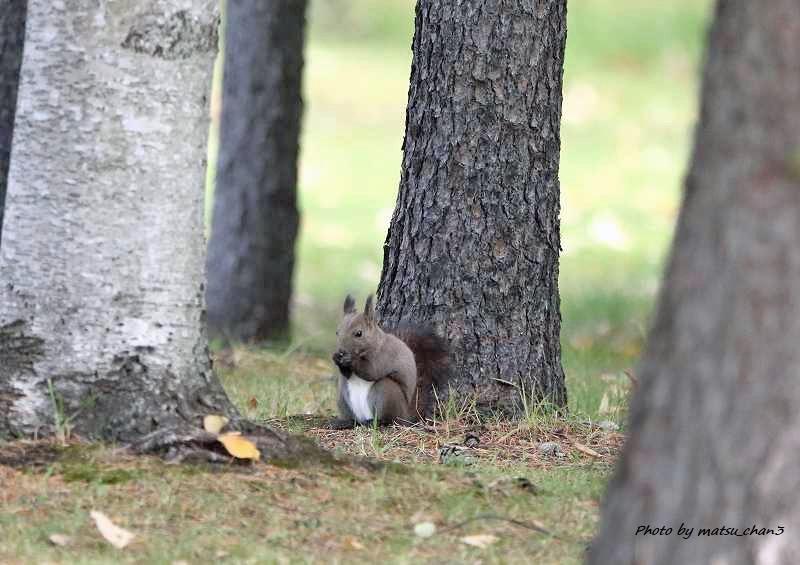 エゾリス  Hokkaido Squirrel_c0070654_08535110.jpg