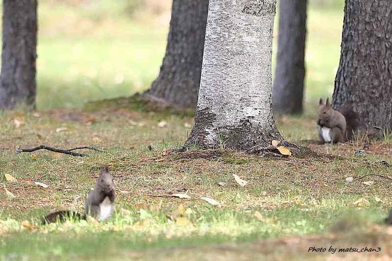 エゾリス  Hokkaido Squirrel_c0070654_08540455.jpg