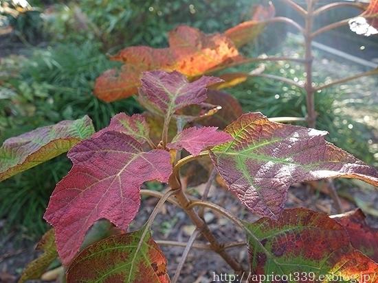 晩秋の庭しごと 低木と宿根草の紅葉_c0293787_16383408.jpg