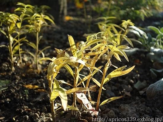 晩秋の庭しごと 低木と宿根草の紅葉_c0293787_16422590.jpg