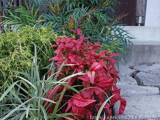 晩秋の庭しごと 低木と宿根草の紅葉_c0293787_16475025.jpg