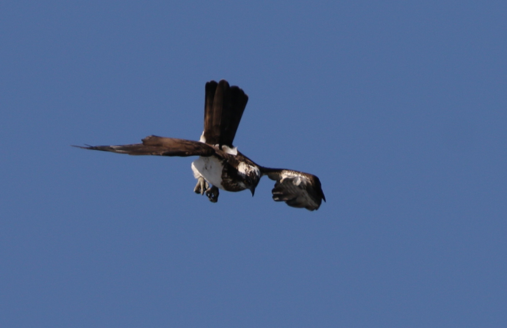 MFの沼でミサゴの狩りを その17_f0239515_14533129.jpg