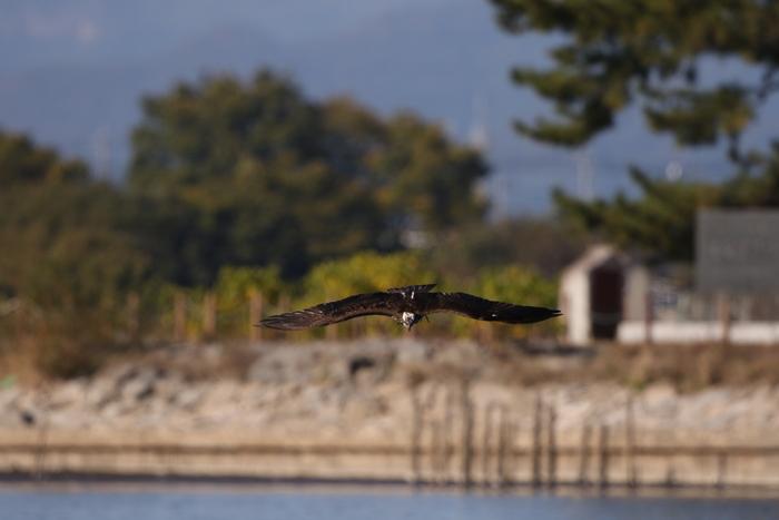 MFの沼でミサゴの狩りを その17_f0239515_14542923.jpg