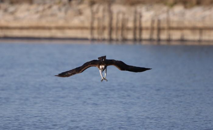 MFの沼でミサゴの狩りを その17_f0239515_14545682.jpg