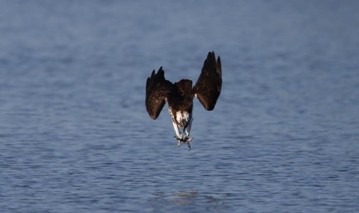 MFの沼でミサゴの狩りを その17_f0239515_14551547.jpg
