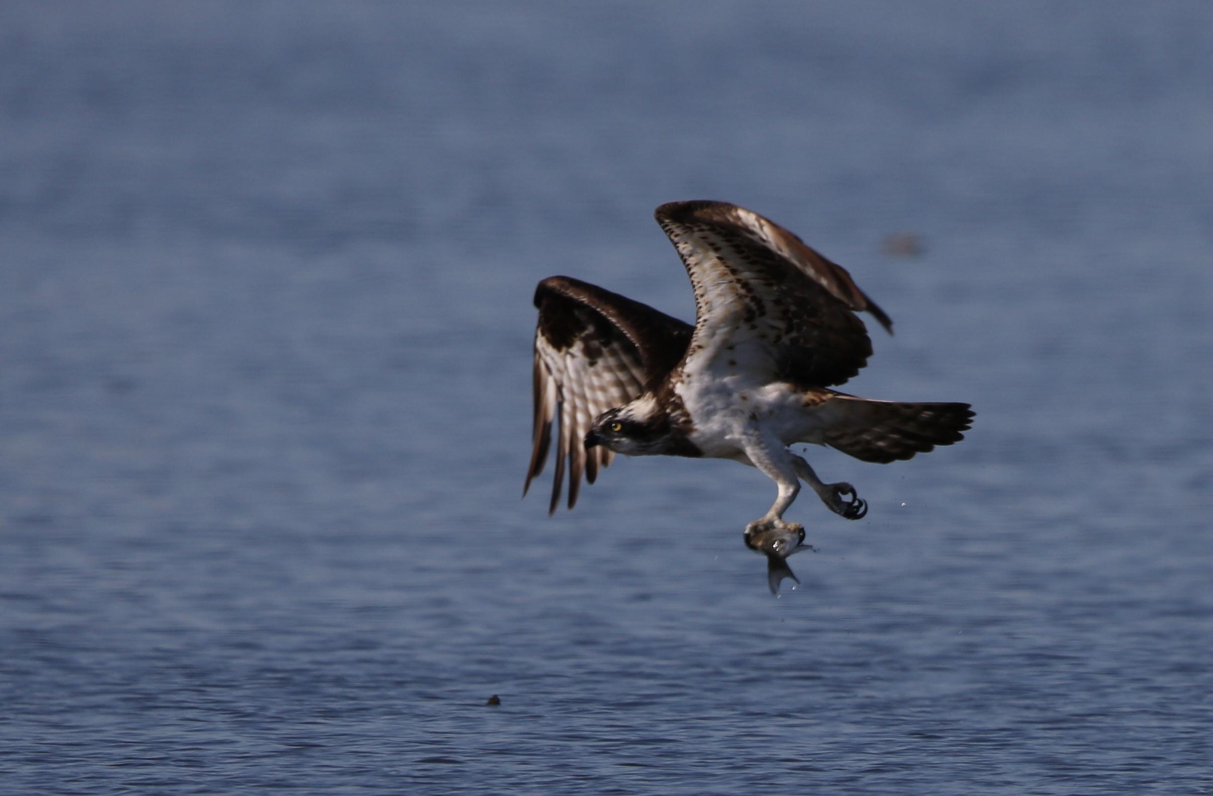 MFの沼でミサゴの狩りを その17_f0239515_14563058.jpg
