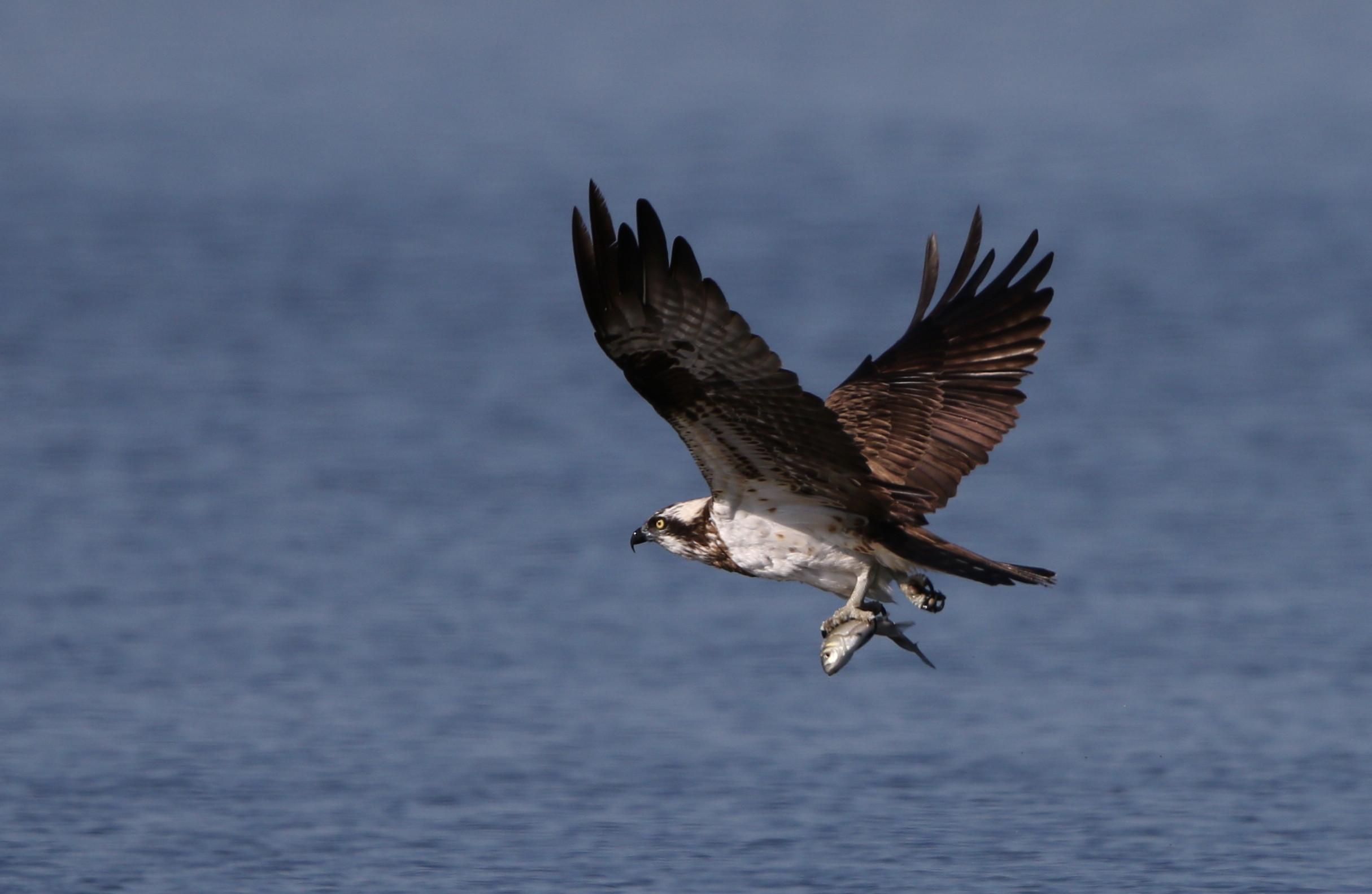 MFの沼でミサゴの狩りを その17_f0239515_1457764.jpg