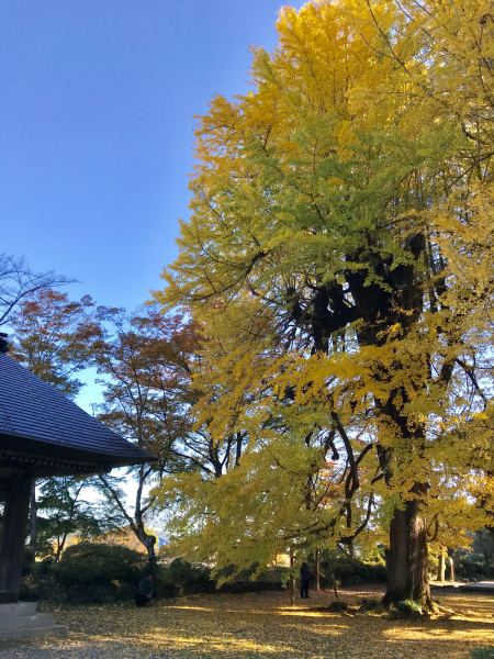 広徳寺の大銀杏 @あきる野_b0157216_12374968.jpg