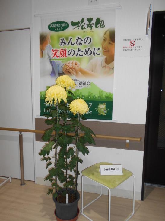 黄色の大菊_b0131135_14180473.jpg
