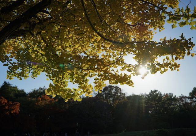 銀杏並木を撮りに_c0220337_16591021.jpeg